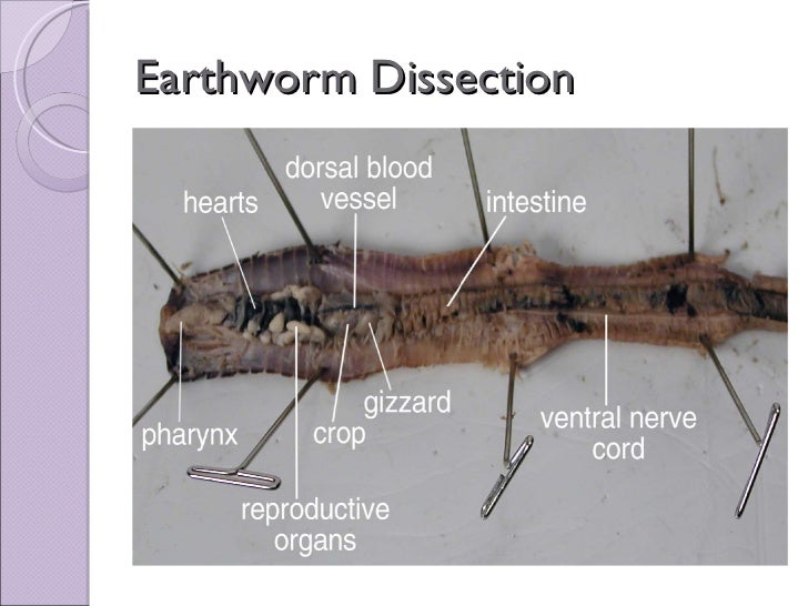 Biol 11 Lesson 4 Mar 10 Ch 27 Earthworm Dissection on excretory system diagram worksheet