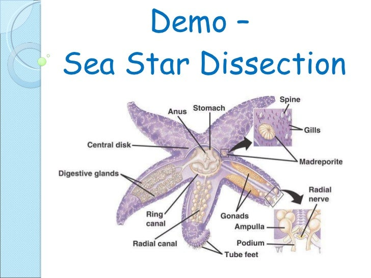 Biol 11 Lesson 5 April 15 Ch 29 Echinodermata – Starfish Dissection Worksheet