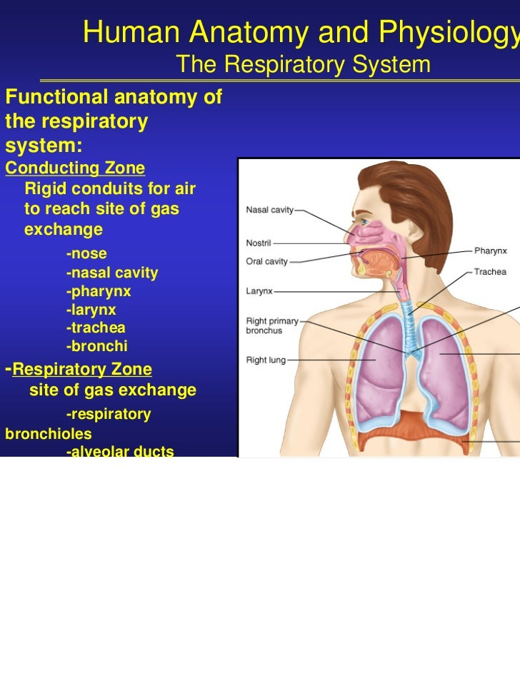 Fantastisch Anatomy And Physiology Of Human Respiratory System ...