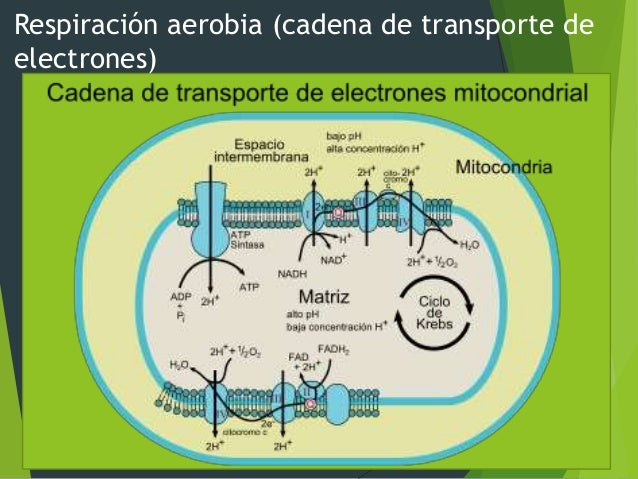IV. Metabolismo