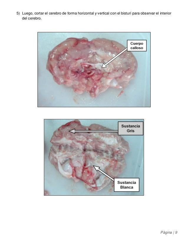 Biología 3° medio - Informe de Disección de Cabeza de Cerdo