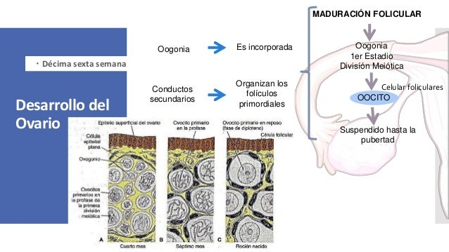 Desarrollo del Ovario  Décima sexta semana Oogonia Es incorporada Conductos secundarios Organizan los folículos primordia...