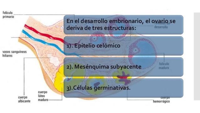 En el desarrollo embrionario, el ovario se deriva de tres estructuras: 1). Epitelio celómico 2). Mesénquima subyacente 3)....