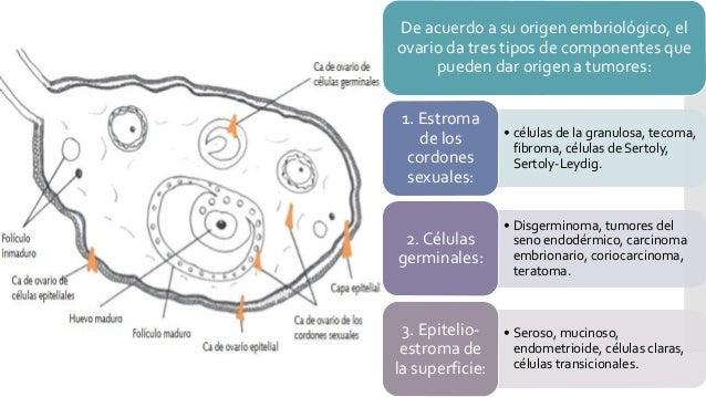 De acuerdo a su origen embriológico, el ovario da tres tipos de componentes que pueden dar origen a tumores: • células de ...