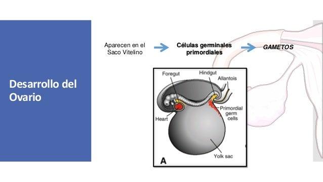 Desarrollo del Ovario Células germinales primordiales Aparecen en el Saco Vitelino GAMETOS