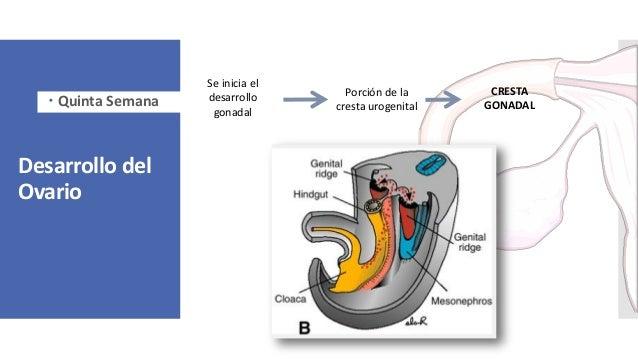 Desarrollo del Ovario Se inicia el desarrollo gonadal Porción de la cresta urogenital CRESTA GONADAL Quinta Semana