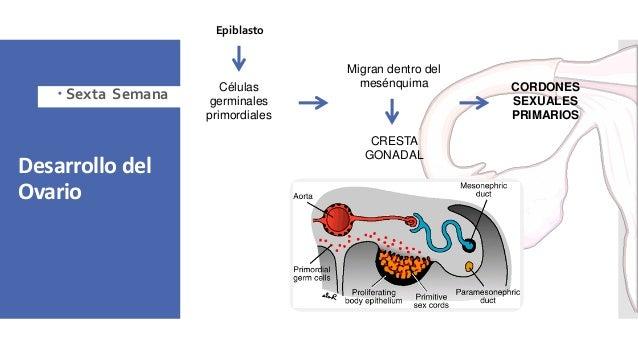 Desarrollo del Ovario Células germinales primordiales Migran dentro del mesénquima CRESTA GONADAL CORDONES SEXUALES PRIMAR...