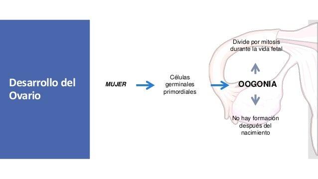 Desarrollo del Ovario MUJER Células germinales primordiales OOGONIA Divide por mitosis durante la vida fetal No hay formac...