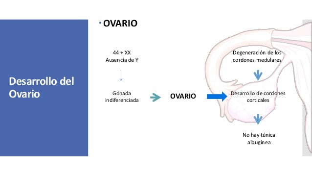 Desarrollo del Ovario OVARIO 44 + XX Ausencia de Y Gónada indiferenciada OVARIO Degeneración de los cordones medulares De...