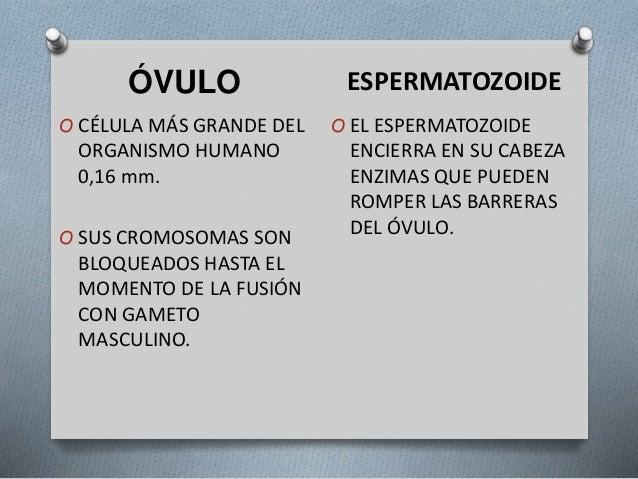 Meiosisi - Biología Humana - Angélica Vázquez