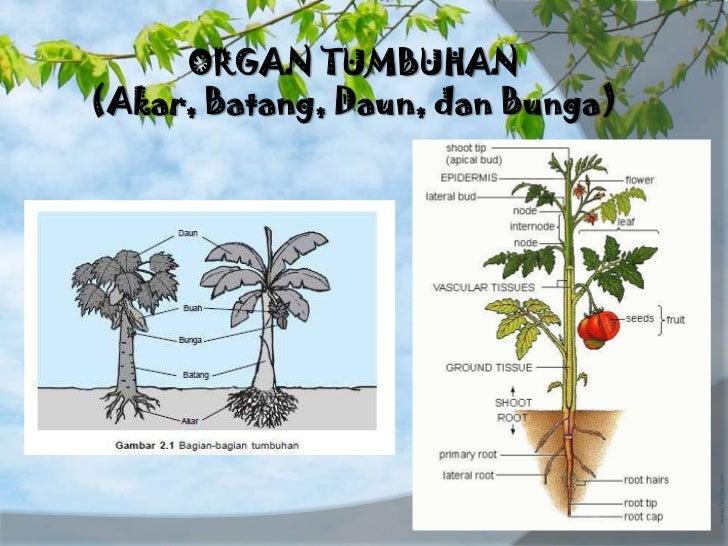 Biologi Organ Tumbuhan