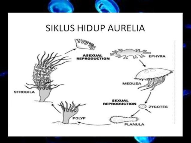 Biologi: Coelentrata, Cnidaria, Ctenophora