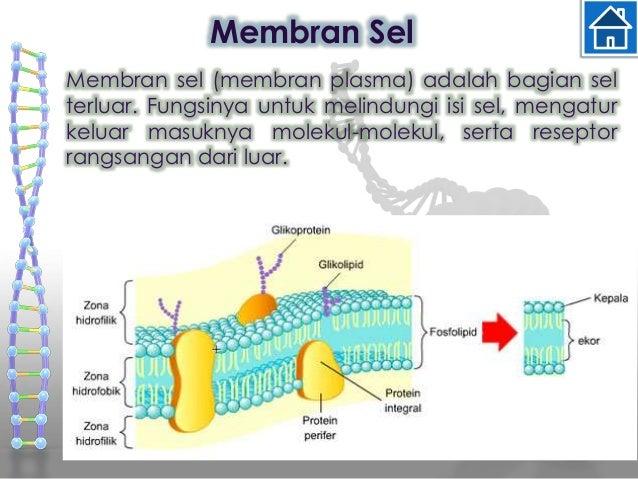 Biologi 9 sitoplasma sitoplasma adalah cairan yang mengelilingi sel dengan membran ccuart Choice Image