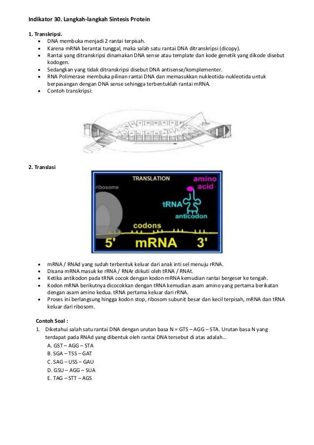 Indikator 30. Langkah-langkah Sintesis Protein 1. Transkripsi.  DNA membuka menjadi 2 rantai terpisah.  Karena mRNA bera...