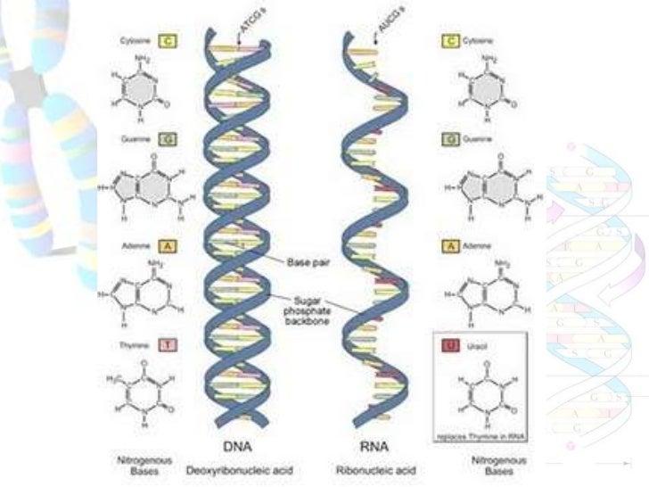 Tahapan sintesis protein transkripsi dan translasi