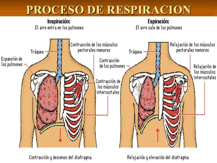 Contemporáneo Proceso De Respiración En Los Seres Humanos Componente ...