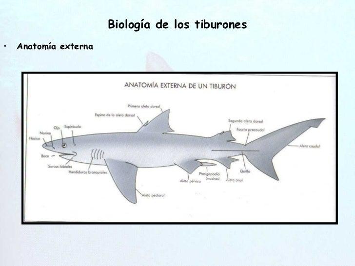 Perfecto Anatomía Externa Tiburón Inspiración - Anatomía de Las ...