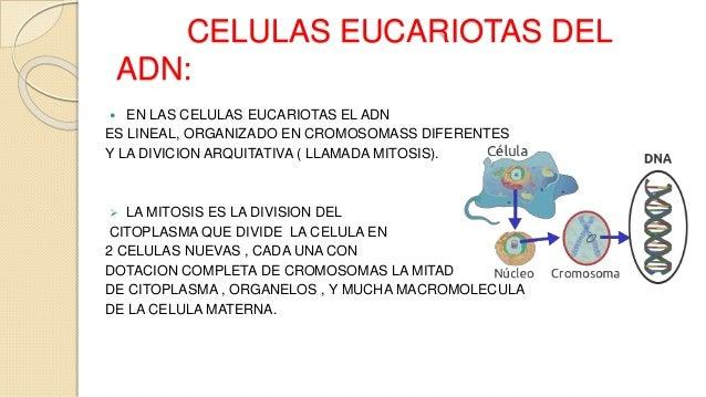 Reproduccion asexual de las celulas del