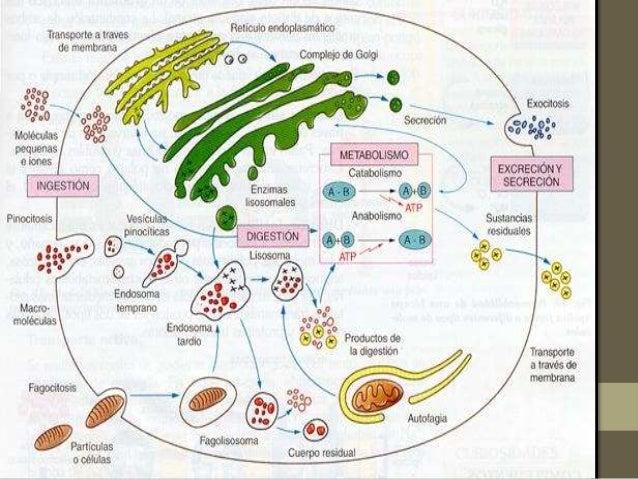 rutas anabolicas catabolicas