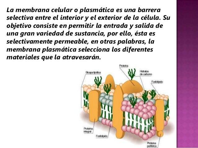 La membrana celular o plasmática es una barreraselectiva entre el interior y el exterior de la célula. Suobjetivo consiste...