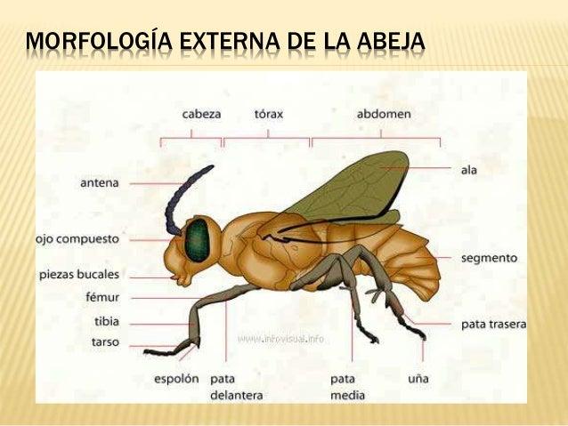 Biología de las abejas Ayelén Franco Donda