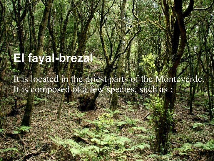 El fayal-brezal It is located in the driest parts of the Monteverde. It is composed of a few species, such as :