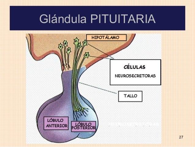 Glándula PITUITARIA                      27