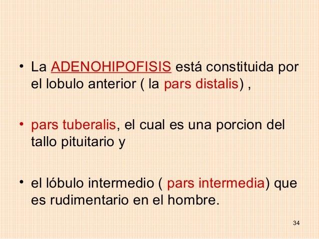 • La ADENOHIPOFISIS está constituida por  el lobulo anterior ( la pars distalis) ,• pars tuberalis, el cual es una porcion...