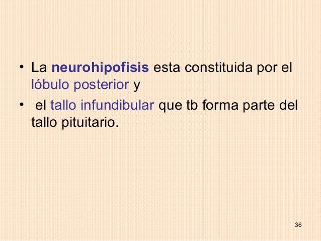 • La neurohipofisis esta constituida por el  lóbulo posterior y• el tallo infundibular que tb forma parte del  tallo pitui...