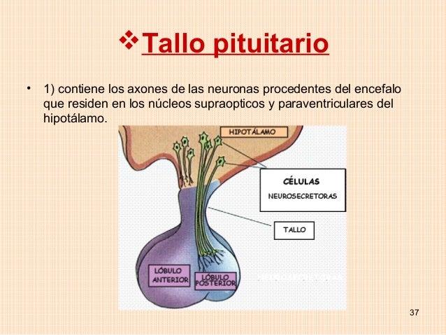 Tallo pituitario•   1) contiene los axones de las neuronas procedentes del encefalo    que residen en los núcleos supraop...