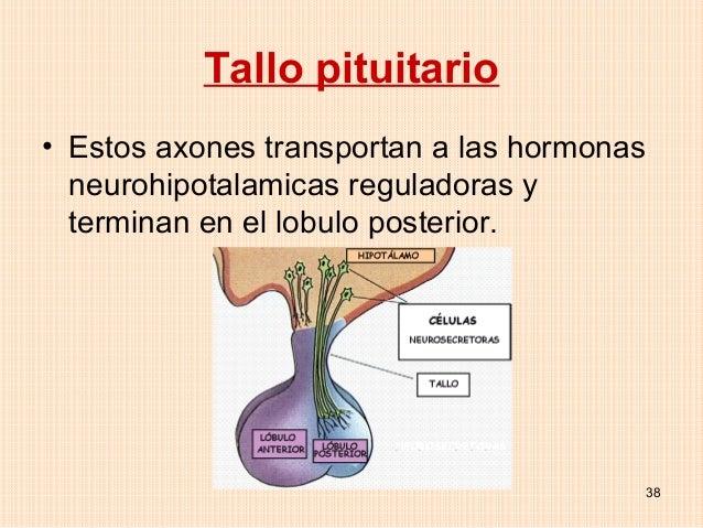 Tallo pituitario• Estos axones transportan a las hormonas  neurohipotalamicas reguladoras y  terminan en el lobulo posteri...