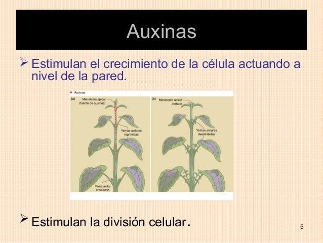 Auxinas Estimulan el crecimiento de la célula actuando a  nivel de la pared. Estimulan la división celular.             ...