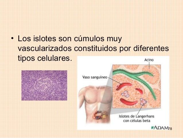 • Los islotes son cúmulos muy  vascularizados constituidos por diferentes  tipos celulares.                               ...