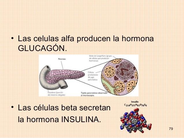 • Las celulas alfa producen la hormona  GLUCAGÓN.• Las células beta secretan  la hormona INSULINA.                        ...
