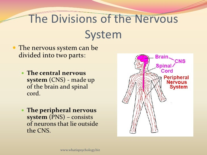 psychology the nervous system The nervous system is divided into central and peripheral nervous systems, and the two heavily interact with one another biological psychology (3rd ed.
