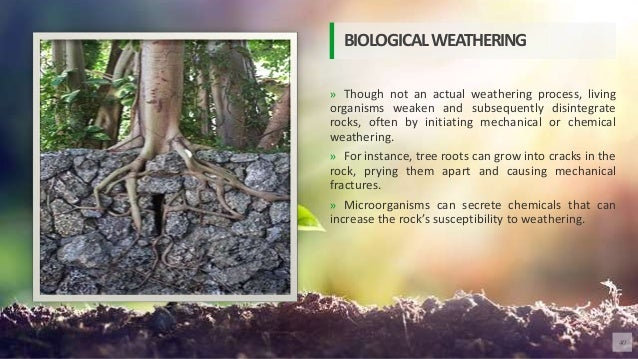 » Though not an actual weathering process, living organisms weaken and subsequently disintegrate rocks, often by initiatin...