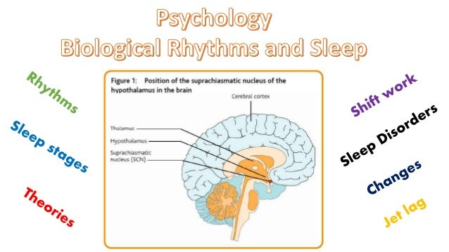Ultradian rhythm psychology essay samples