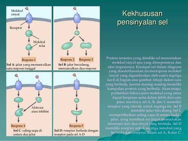 transduksi sinyal hormon steroid