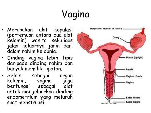 Tempat Terjadinya Fertilisasi Pada Alat Reproduksi Wanita Berbagai Alat