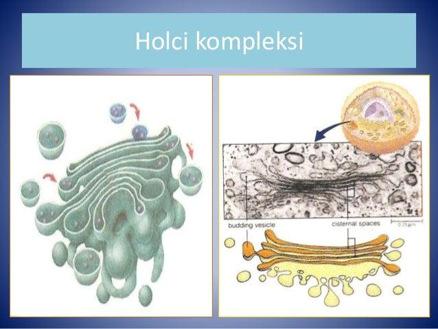 Image result for holci kompleksi