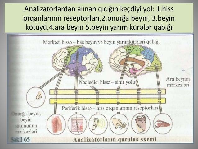 Insanın duyğu orqanları: 1.göz,  2.burun, 3.qulaq, 4.dil, 5.dəri-əzələ.