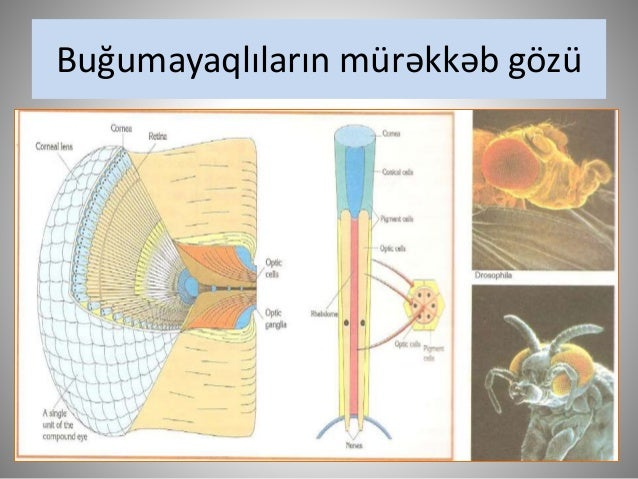Kolbacıq və köpcüklərin quruluşu,  ənsə nahiyəsində görüntünün alınması