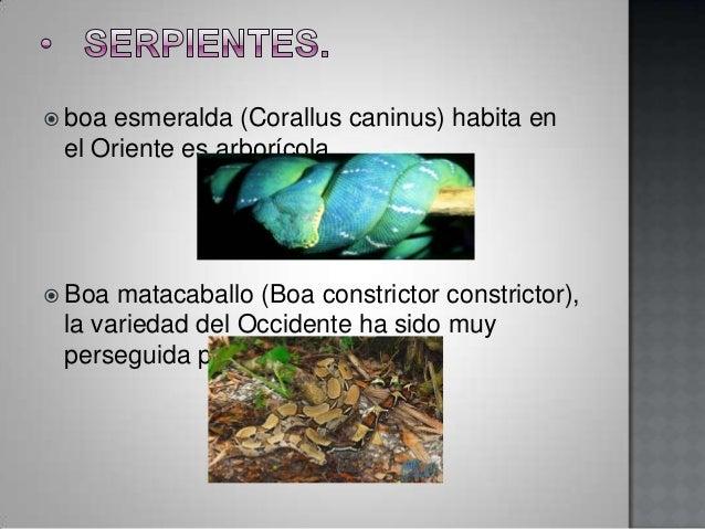  boaesmeralda (Corallus caninus) habita en el Oriente es arborícola. Boa matacaballo (Boa constrictor constrictor), la v...