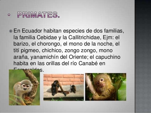  En  Ecuador habitan especies de dos familias, la familia Cebidae y la Callitrichidae, Ejm: el barizo, el chorongo, el mo...