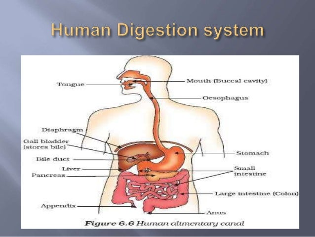 the two processes of digestion Food gets broken down into a simple form that can be absorbed and used by the body in a process called digestion in mammals, this the pancreas is one of the major glands of the body, and has two functions: releasing digestive enzymes into the gut and releasing hormones into the blood pancreatic juice also.