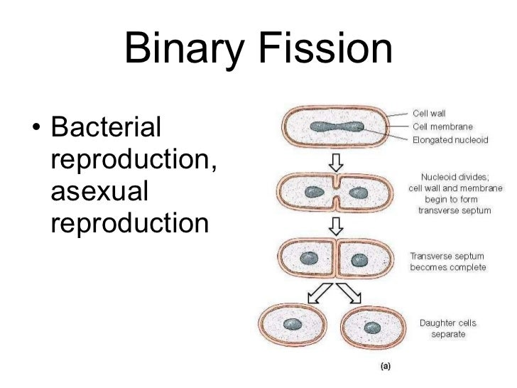 How do bacteria reproduce asexually