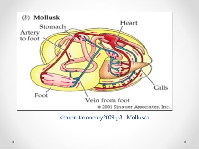 Biology of molluscs sharon taxonomy2009 p3 mollusca 8 ccuart Gallery