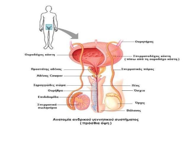 Εκφορητική οδός του σπέρματος • Η εκφορητική οδός του σπέρματος περιλαμβάνει : a) Την επιδιδυμίδα b) Τον σπερματικό πόρο, ...