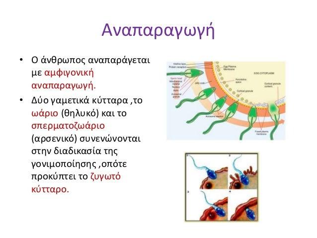 Αναπαραγωγή • Ο άνθρωπος αναπαράγεται με αμφιγονική αναπαραγωγή. • Δύο γαμετικά κύτταρα ,το ωάριο (θηλυκό) και το σπερματο...