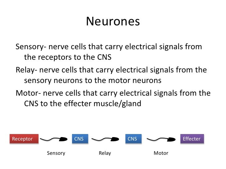 Biology revision for b1 neurones sensory ccuart Gallery